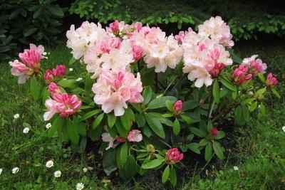 Ziehen Sie Ableger vom Rhododendron.