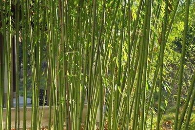 Bambus kann sich extrem ausbreiten.