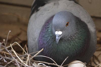 Fenstersimse sind willkommene Nistplätze für Tauben.