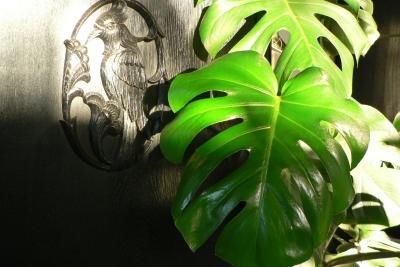 Das Fensterblatt ist als Pflanze beliebt.