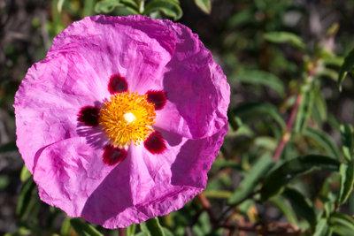Eine Blüte der Rescue Tropfen