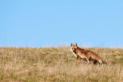 Der Fabel-Fuchs hat menschliche Züge.