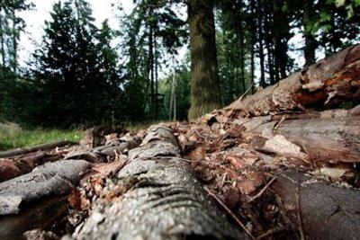 Untersuchen Sie einen Holzstamm auf Schädlinge.