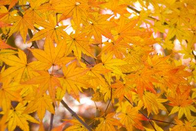 Ahorn wächst als Baum oder Strauch.