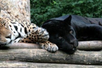 Ein Leopard mit seinem schwarzen Bruder