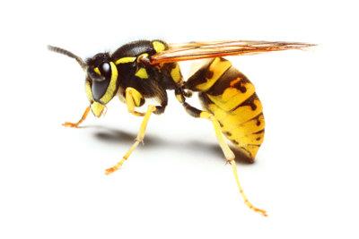 Schwarz-gelb und angriffslustig - die Wespe