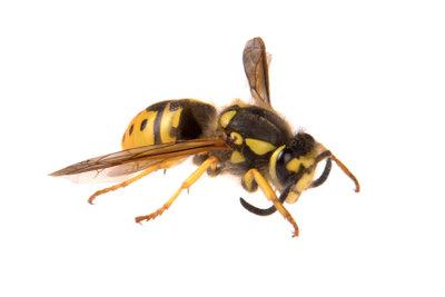Eine Wespe kann mehrmals stechen.