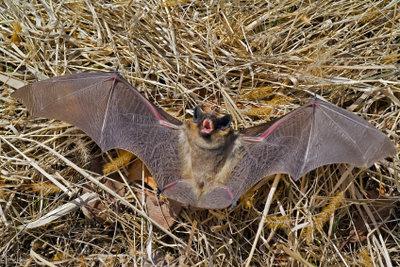 Fledermäuse sind ungefährlich.