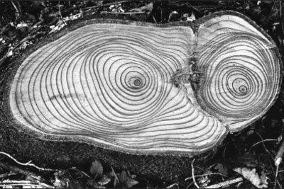 Namensgeber: Der Baumstamm mit seinen Ringen