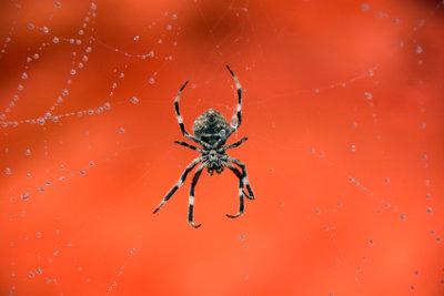 Die meisten Spinnen sind harmlos.