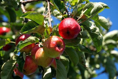 Bei guter Pflege brauchen Sie kaum Krankheiten des Apfelbaums fürchten.