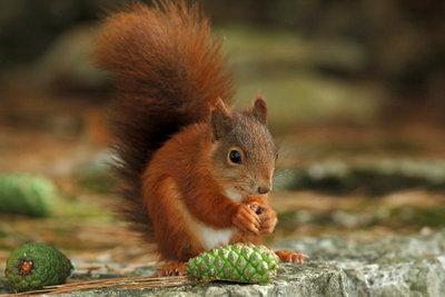 Eichhörnchen sind keine Haustiere.