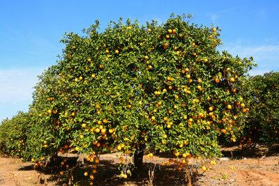 Obstbäume - wer richtig pflanzt, hat lange Freude.