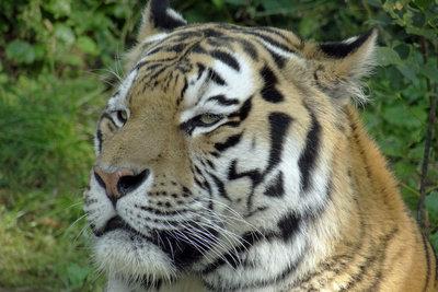 Das Tigerauge ist ruhig und klar.