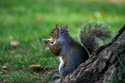 Eichhörnchen sind fleißige Sammler.