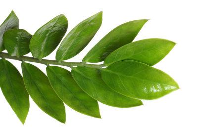 Zamioculcas zamiifolia ist eine robuste Zimmerpflanze.