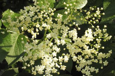 Holunder blüht im Mai und Juni.