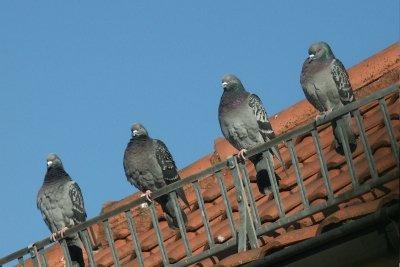 Verjagen Sie Tauben ohne Gift.