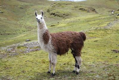 Der Unterschied zwischen Lamas und Alpakas