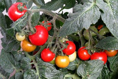 Ohne Schädlinge bleiben Ihre Tomaten gesund.