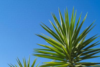 Yucca-Palmen sollten richtig gepflegt werden.
