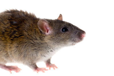 Ratten können effektiv vertrieben werden.