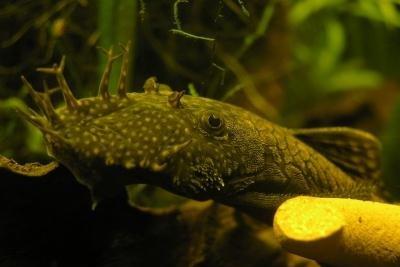 Welse im Aquarium richtig pflegen