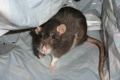 Mit einer Bauanleitung eine Rattenfalle bauen.