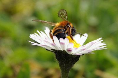 Nach einem Bienenstich hilft die Zwiebel.