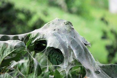 Raupen bilden seltsame Gespinste.
