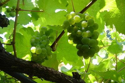 Weintrauben sind gesund, aber zuckerreich.