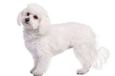 Malteser brauchen im Winter Hundekleidung.