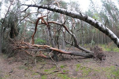 Windstärke 10 entwurzelt auch Bäume.