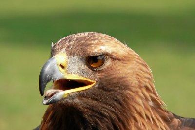 Einige Adlerarten leben auch in Deutschland.