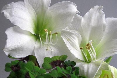Die Amaryllis bildet sehr große Blüten.