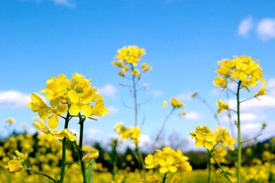Senf ist eine sehr anspruchslose Pflanze.