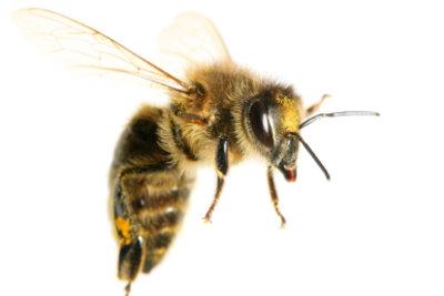 Bienen sind normalerweise friedliche Tiere.