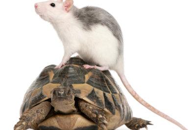 Es gibt sehr süße Rattenarten.