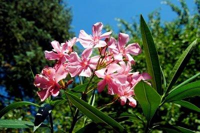 Der Oleander lässt sich leicht vermehren.