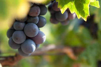 Weinlese in Italien: Planung ist wichtig