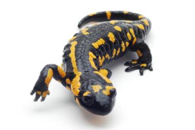Salamander sind Fleischfresser.