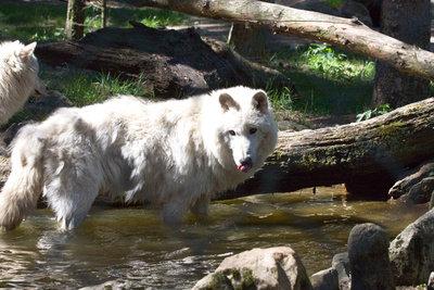 Wölfe sind sehr loyale Tiere.