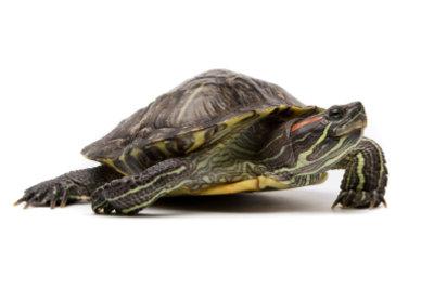 Mit guter Pflege werden Schildkröten uralt.