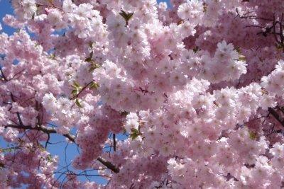 Rosa Blütenträume im Frühling.