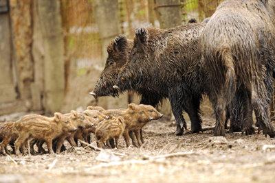 Wildschweinfamilien sind süß, aber auch gefährlich.