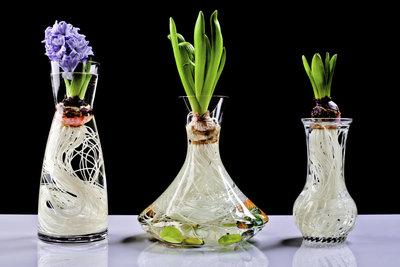 Nützlich und dekorativ: Hyazinthen im Glas kultivieren.