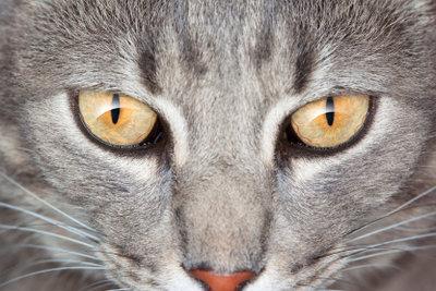 Gesunde und glänzende Katzenaugen