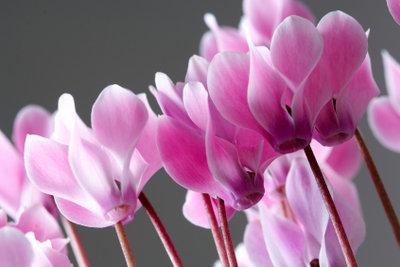Die attraktiven Blühpflanzen überstehen den Winter leider nicht immer.