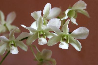 Orchideen reagieren empfindlich auf einen Schnitt.