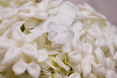 Weiße Hortensien stellen keine besonderen Pflegeansprüche.